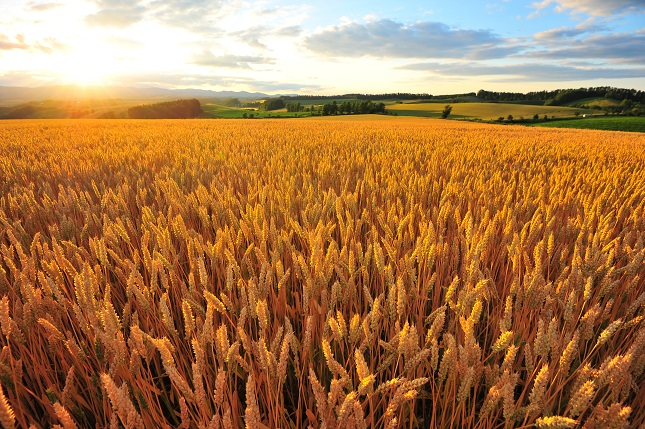 Corn, Wheat and Soybeans Rally on Lower Grains Forecasts