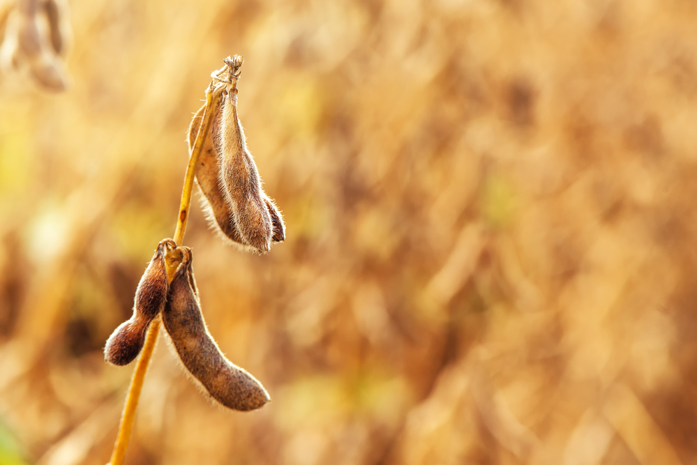 US Grocery Store Retail Sales Rise Putting Upward Pressure on Organic Soybean Prices