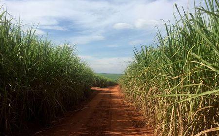 Plantação de cana-de-açúcar em Ribeirão Preto (SP), no cinturão de